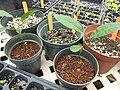 Starr-110621-6297-Carya illinoinensis-seedlings-Hawea Pl Olinda-Maui (25097331275).jpg