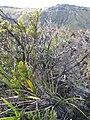 Starr-110810-7969-Dianella sandwicensis-habit-Trail from Oili Puu to Kapalaoa HNP-Maui (24807497200).jpg