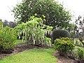 Starr-120305-3525-Wisteria floribunda-flowering habit-Crater Rd Kula-Maui (24841757200).jpg