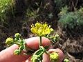 Starr-120403-4109-Ruta graveolens-flowers-Kula-Maui (24770753109).jpg
