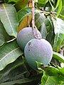 Starr-120608-9591-Mangifera indica-fruit-Ulupalakua Ranch-Maui (25027175412).jpg