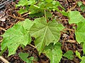 Starr-120620-7550-Jatropha curcas-seedling-Kula Agriculture Park-Maui (25145890395).jpg
