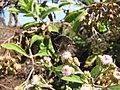 Starr-130320-3380-Pluchea carolinensis-flowers with Strymon bazochii smaller Lantana butterfly biocontrol-Nihoku Mokolea Pt Kilauea Pt NWR-Kauai (24582292193).jpg