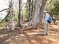 Starr-130321-3722-Casuarina equisetifolia-habit with Kim and Laysan Albatross-Albatross Hill Kilauea Pt NWR-Kauai (24913966560).jpg