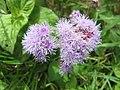 Starr-130411-3953-Ageratum houstonianum-flowers-Pololei Haiku-Maui (25116758781).jpg
