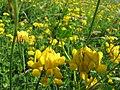 Starr-130605-4715-Lotus uliginosus-flowers-Olinda-Maui (25118345031).jpg