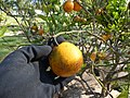 Starr-150326-0711-Citrus meyeri-fruit-Citrus Grove Town Sand Island-Midway Atoll (25173595881).jpg