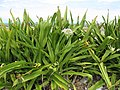 Starr-150403-1465-Crinum asiaticum-flowering habit-Near Pier Eastern Island-Midway Atoll (24651012913).jpg