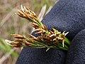 Starr-170727-0501-Rhynchospora caduca-flowers-Makamakaole-Maui - Flickr - Starr Environmental.jpg