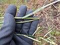 Starr-170727-0536-Paspalum scrobiculatum-plant seedhead-Makamakaole-Maui - Flickr - Starr Environmental.jpg