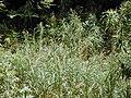 Starr 030405-0106 Pennisetum purpureum.jpg