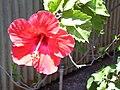 Starr 030523-0092 Hibiscus rosa-sinensis.jpg