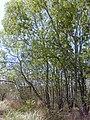 Starr 031013-0024 Acacia auriculiformis.jpg