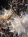 Starr 040214-0054 Cirsium vulgare.jpg
