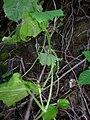 Starr 041229-2754 Sicyos hispidus.jpg