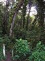Starr 050107-2823 Epipremnum pinnatum.jpg