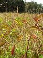 Starr 050818-4113 Rubus argutus.jpg