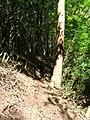 Starr 050904-4395 Eucalyptus sp..jpg