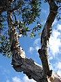 Starr 061206-2000 Melaleuca quinquenervia.jpg
