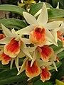 Starr 080117-1747 Cattleya sp..jpg