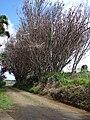 Starr 080304-3244 Syzygium jambos.jpg