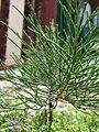 Starr 080531-4810 Casuarina equisetifolia.jpg