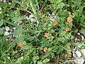 Starr 080609-7824 Anagallis arvensis.jpg