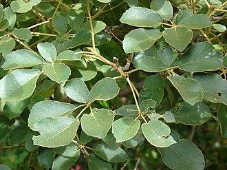 Handroanthus serratifolius - Image: Starr 080716 9306 Tabebuia serratifolia