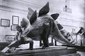 Stegosaurus stenops model Smithsonian.png