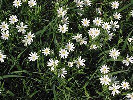 Grote Foto Op Muur.Grote Muur Plant Wikipedia