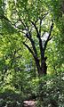 Stiel-Eiche-Quercus robur-1. 9-8-B.jpg