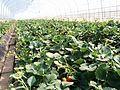 Strawberry picking Tochigi.jpg