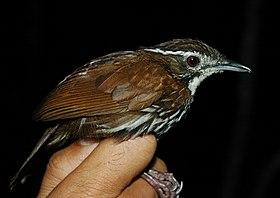 Streaked ground babbler.jpg
