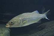 Striped Bass in the Baltimore Aquarium.jpg