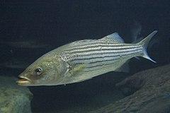 Striped Bass - Photo (c) PlanespotterA320, some rights reserved (CC BY-SA)