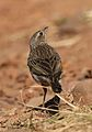 Striped pipit, Anthus lineiventris, at Walter Sisulu National Botanical Garden, Gauteng, South Africa (28856176473).jpg