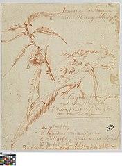 Studies van bladeren en vruchten van een kastanjeboom