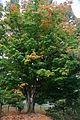 Sugar Maple Tree.JPG
