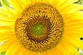 Sunflower Kamand DSC 2856.jpg