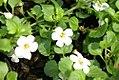 Sutera grandiflora Abunda Giant White 0zz.jpg