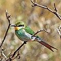 Swallow-tailed bee-eater (Merops hirundineus hirundineus).jpg