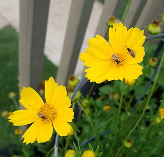 Lasioglossum - Three sweat bees in Auburn, AL pollinating a coreopsis flower.