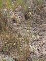 Symphyotrichum (Aster) eatonii (4031380039).jpg