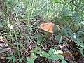 Synyak mushroom.JPG