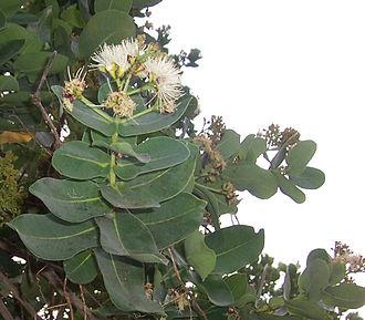 Syzygium cordatum - Hute (Syzygium cordatum)