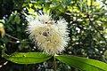 Syzygium munronii 04810.jpg