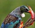 Tūī feeding on Harakeke nectar (6570554993).jpg