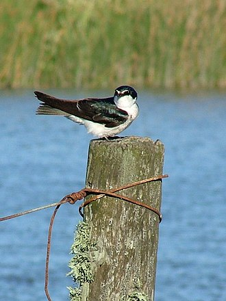 White-rumped swallow - In Buenos Aires