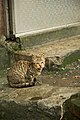Taiwan 2009 JinGuaShi Historic Gold Mine Stray Cat FRD 8955.jpg