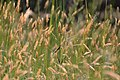 Tall Grass and Low Sun (5724555776).jpg